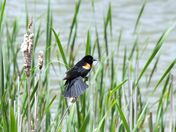 Red winged blackbird at the marsh