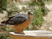 Cooper Hawk in the birdbath