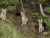Coyote Kits