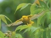 Yellow Warbler in Flight