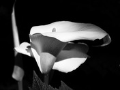 Calla Lily.in Black and White