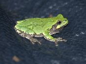 Tree frog: night sighting