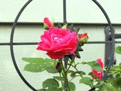 Pink rose on out trellis