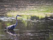 RG_381 | Blue Heron