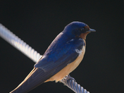 RG_382 | Barn Swallow