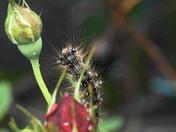 rosebud eater