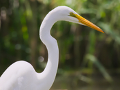 SB_025 | Great White Egret