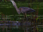 Great Blue Heron Swallows a catfish