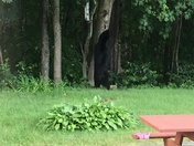 Bear Spotted in Milford