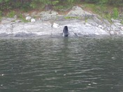 Black Bear at Quabbin Reservoir