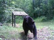 Dunbarton Bear