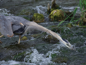 A Blue Heron Catching Fish in a Spring