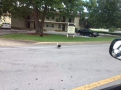 The ducks cross the road here in Ocalla