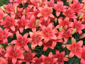 Red Lily Patch