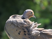 Grooming Dove
