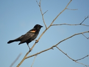 Red Winged Blackbird on Alert