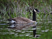 Canadian goose out for a paddle