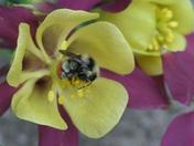 Very busy honey bee