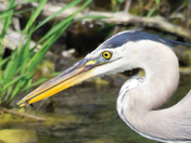 A blue heron catching 2nd fish in a spring