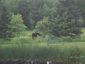 Mrs Moose visited my backyard in Strong!