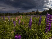 Lupins Before the Storm