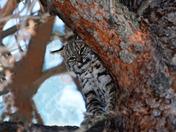 Yearling Bobcat