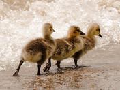 Canada geese goslings on the beach