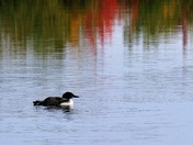 loons on Opechee, and our neighborhood young bald eagle
