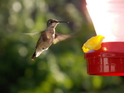 The beauty of a hummingbird in motion