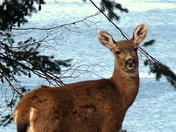 Doe by NW Bay