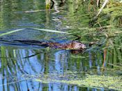 June muscrat at the marsh