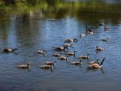 Canada Geese in Port Hawkesbury