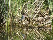 Marsh duo: green backed heron and turtle