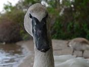 Trumpeter Swan-Cygnet
