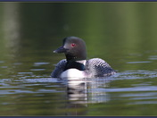 Papa loon heading over for a visit