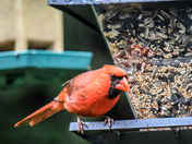 Northern Cardinal - Happier Today