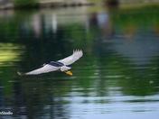 Flying black-crowned night heron