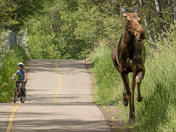 Close Encounter of the Moose Kind