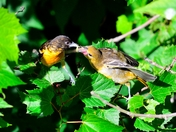 Northern Orioles
