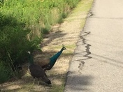 Peacocks in NH