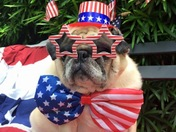Puddin' the Pug on the 4th