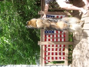 Blu Dog enjoying Independence Day!