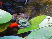 frog at our back yard pond: resting