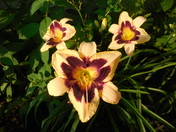 Moonlight Masquerade Daylily