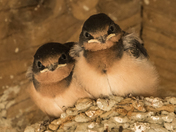 Young Barn Swallows (6597)