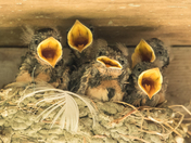 Young Barn Swallows (5548)