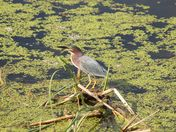 June green-backed heron at the marsh