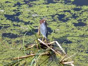 Green-backed heron at our local marsh -over the shoulder glance