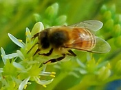 Honeybee, Auburn, CA