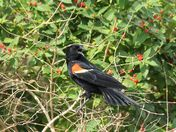 Angry red-winged blackbird at the marsh
